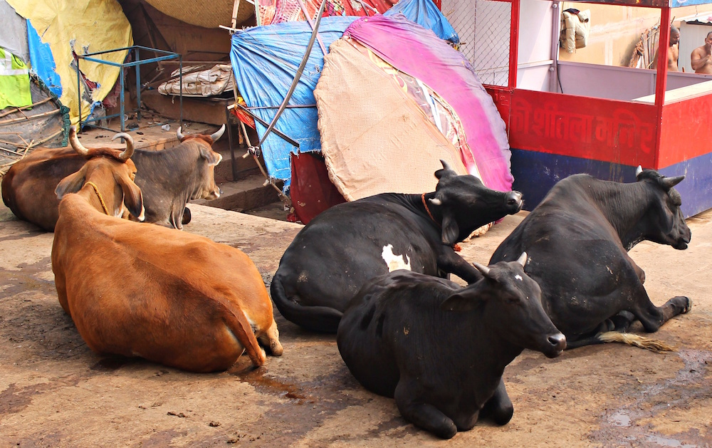 Cows India