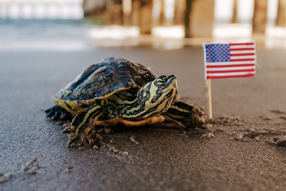 Turtle on beach with American Flag